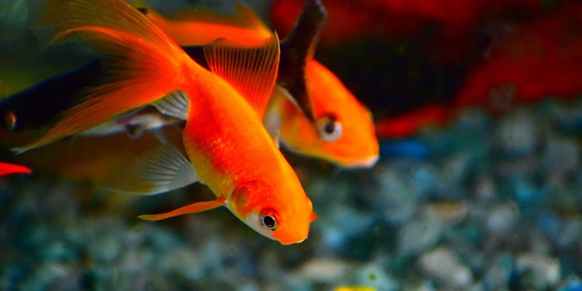 Zlate ribice v akvariju