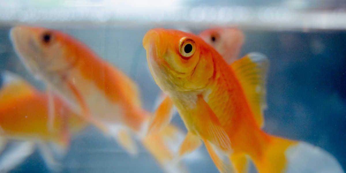 Akvarijske ribe - zlate ribice
