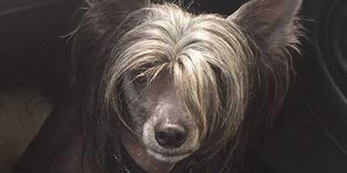 Pasma psa - kitajski goli pes