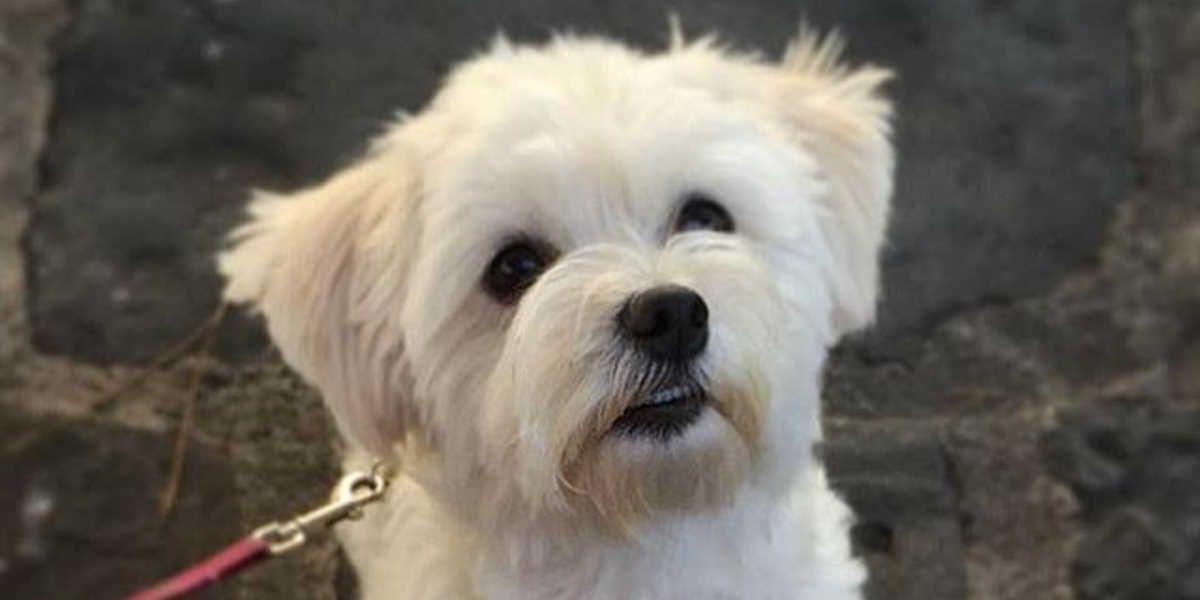Pasma psa - maltežan