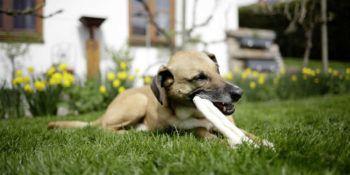 Zdravi pasji zobje: Dentalni priboljški za pse